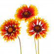 Gaillardia flower — Stock Photo