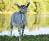 Goat grazed — Stock Photo