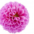 Pink of a dahlia isolated — Stock Photo #16809775