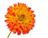 Flor dália belo isolado — Fotografia Stock