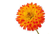 Beautiful dahlia flower isolated — Stock Photo
