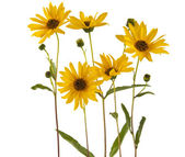 Yellow flowers isolated — Stock Photo