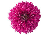Magenta chrysanthemum isolated — Stock Photo