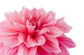 Pink of a dahlia isolated — Stock Photo