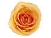 Gele roos geïsoleerd — Stockfoto