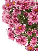 Beautiful pink chrysanthemum — Stock Photo