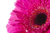 Pink gerbera isolated — Stock Photo