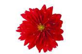 Red dahlia isolated — Stock Photo