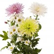 Beautiful chrysanthemum flower isolated — Stock Photo