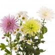 Beautiful chrysanthemum flower isolated — Stockfoto