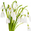 Snowdrop flowers isolated — Stock Photo