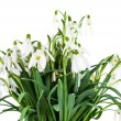 Snowdrop flowers isolated - Stock Photo