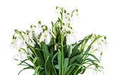 Snowdrop flowers isolated — Stock Photo