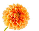 Orange dahlia — Stock Photo