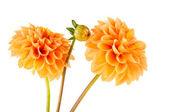 Orange dahlia — Stock Photo