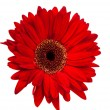Gerbera isolated - Foto Stock