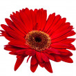 Gerbera isolated — Foto de Stock