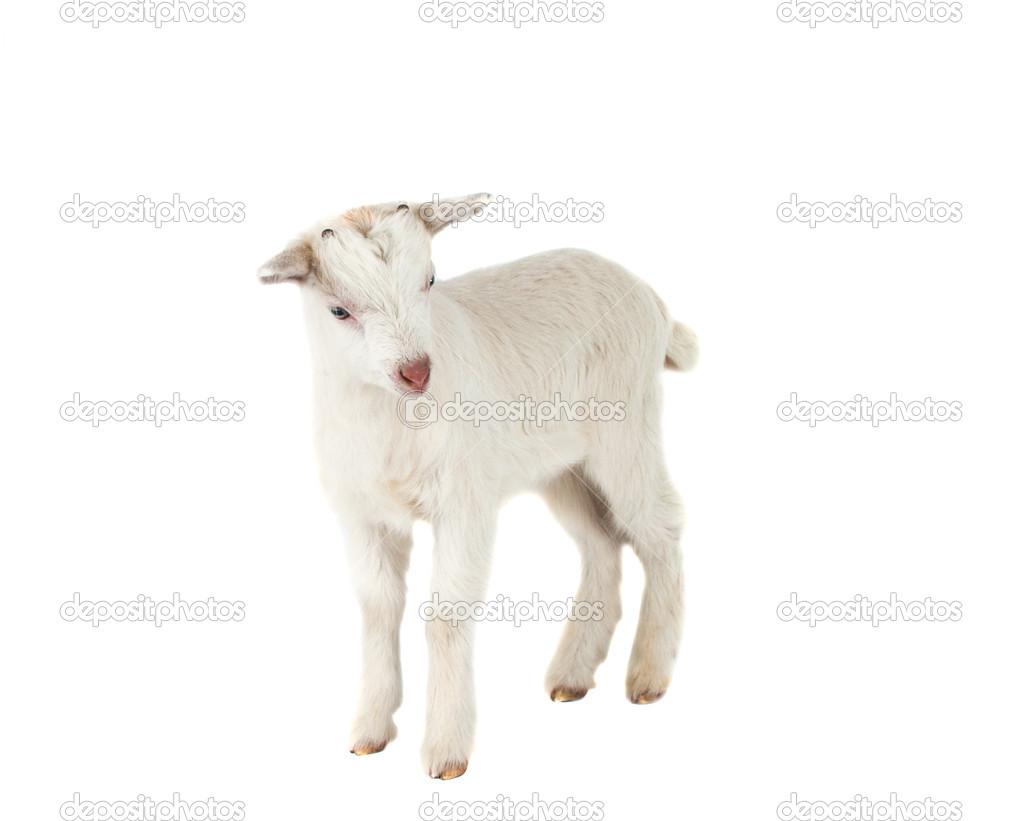 Little goat isolated — Stock Photo © ksena32 #19536769 One Goat White Background