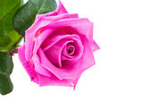 Pink rose isolated — Photo