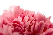 Carnation isolated — Stock Photo