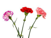 Pink red purple carnation flowers — Stock Photo