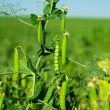 Stock Photo: Peas growing