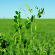Peas growing — Stock Photo