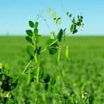 Peas growing — Stock Photo