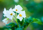 Potato bush blooming — Stock Photo