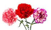 Beautiful carnation — Stock Photo