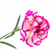 Carnation isolated — Stock Photo