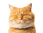 Zencefil kedi izole — Stok fotoğraf