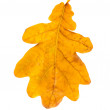 Yellow oak leaf isolated — Stock Photo