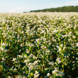 Buckwheat field - Stock Photo