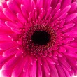 Magenta gerbera — Stock Photo