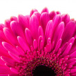 Magenta gerbera - Stock Photo