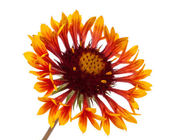 Gaillardia flower — Photo