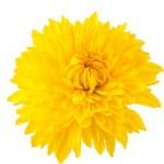 Yellow chrysanthemum isolated — Stock Photo #23382060