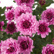 Pink Chrysanthemums — Stock Photo #23382110