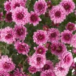 Pink Chrysanthemums — Stock Photo #23382214
