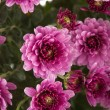 Pink Chrysanthemums — Stock Photo #23382296