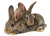 Gray rabbit isolated — Stock Photo