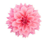 Pink dahlia isolated — Stock Photo