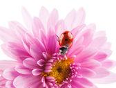 Chrysanthemum flower with a ladybug — Stock Photo