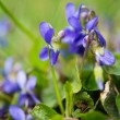 Violets flowers - Stock Photo
