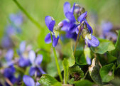 Violets flowers — Stock Photo