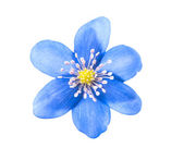 Blue flower isolated — Stock Photo