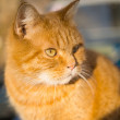 Handsome red tabby cat — Stock Photo #24502783