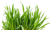 čerstvý zelený pšenice tráva, samostatný — Stock fotografie