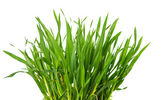 Fresh green wheat grass isolated — Stock Photo